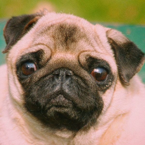 38,124-Pug-face_preview.jpeg